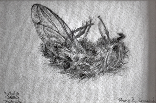 drawing of a deceased house fly